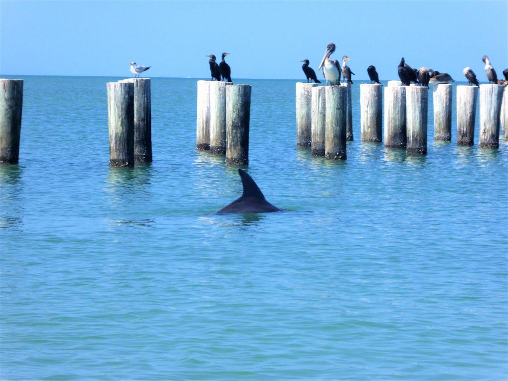 Delphine und Pelikane am Naples Beach