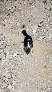 Meine kleine Australian Shepherd Hündin