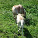 Fohlen und Mutter