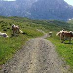 Haflinger Herde auf dem Weg