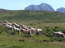 Haflinger Herde auf der Seiser Alm