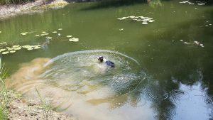 Mein Hund badet am Völser Weiher